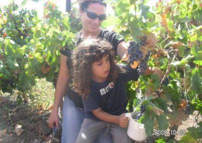 בציר ענבים