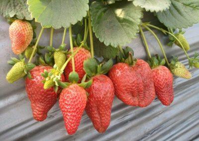 ילדי הגן קוטפים תותים - גנים דמוקרטים במודיעין